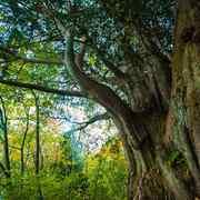 森の中の大木