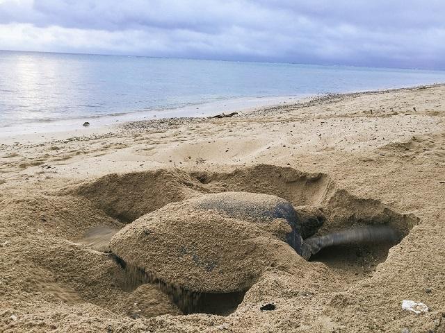 砂浜を掘るカメ