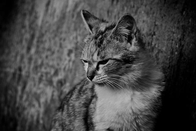 斜め下を見つめる猫