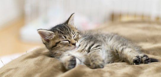 毛布の上で寝る子猫